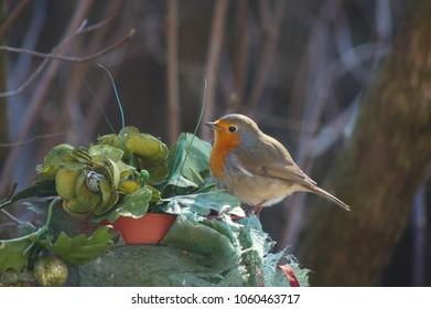 robin bird erithacus rubecula on forest background