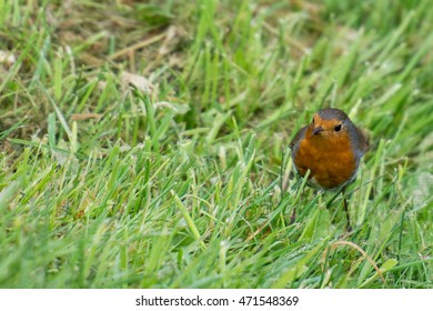 Robin bird, Erithacus rubecula on grass