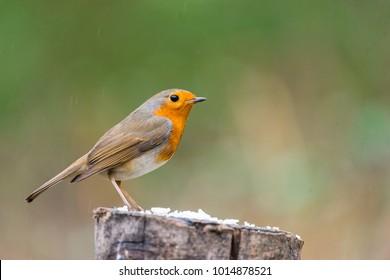 a robin bird Erithacus under the rain