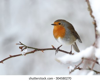 a robin bird on a snow covered branch