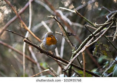 robin bird perched looking at camara