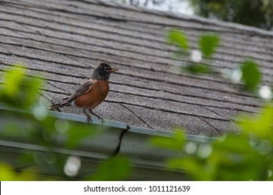Robin bird sitting on a roof in spring time