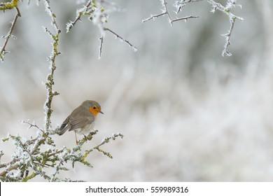 Robin bird in a winter setting