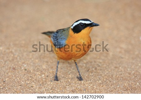 robin cape chat birds typical african stock photo edit now