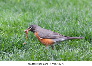 A robin catches and holds a wiggling earthworm in its beak.
