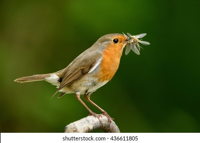 A robin catches a mouthful of mayflies.