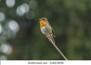Robin Catching Flies