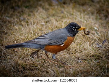 Robin catching the worm