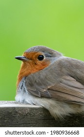 Robin in close up against vibrant green backdrop