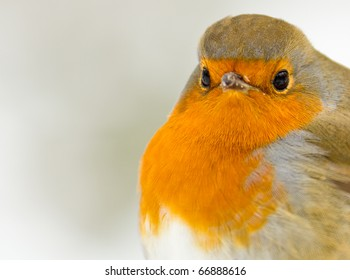 A Robin Close Up in the Snow