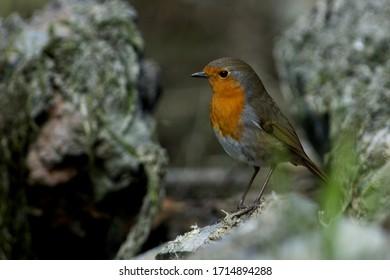 Robin in a closeup in Sweden