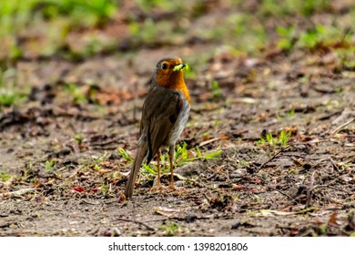 robin eating in a park