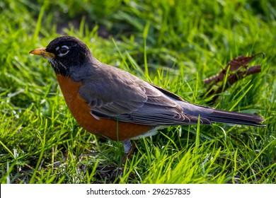 A robin eats a worm