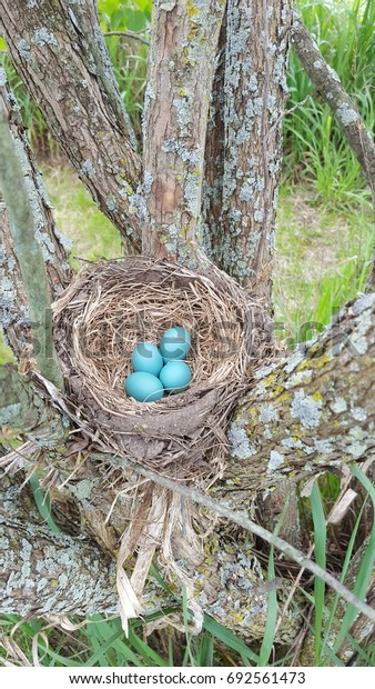 Robin Eggs in Lilac Bush