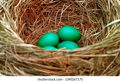 Robin eggs in a nest in Ontario.