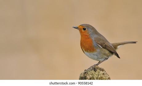 Robin, Erithacus rubecula.