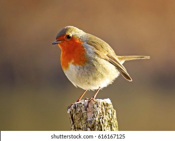 Robin (Erithacus rubecula) European robin