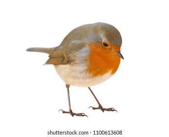 Robin (Erithacus rubecula) isolated
