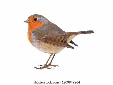 Robin (Erithacus rubecula) isolated on white background