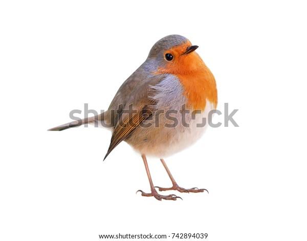 Robin (Erithacus rubecula) isolated on white background