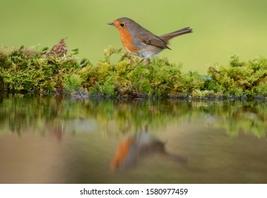 Robin -  Erithacus rubecula on edge of garden pond with reflection in the water