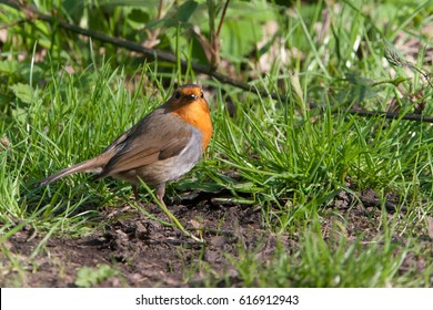 A robin (Erithacus rubecula) on the ground by the canal at Bardlsey Brew, Tameside, UK.