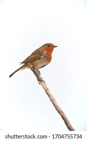 A Robin (Erithacus Rubecula) on its own sat on a single thin branch isolated against a white background