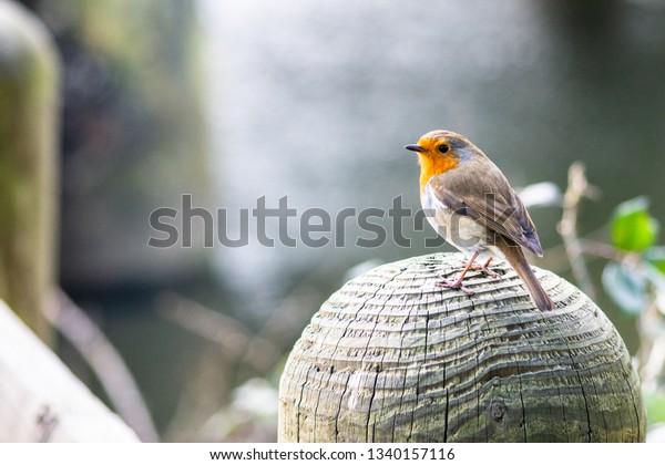 Robin (erithacus rubecula) on a post with a river in the background (landscape)