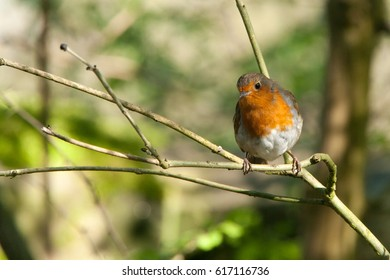 A robin (Erithacus rubecula) on a tree branch in the sunshine at Bardlsey Brew, Tameside, UK.