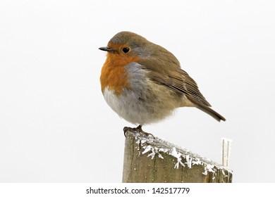 Robin, Erithacus rubecula, single bird in frost, Midlands, December 2010