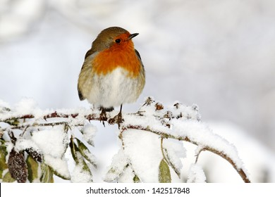 Robin, Erithacus rubecula, single bird in snow, West Midlands, December 2010