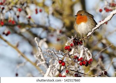 Robin, Erithacus rubecula, single bird on frosty berries, Midlands, December 2010