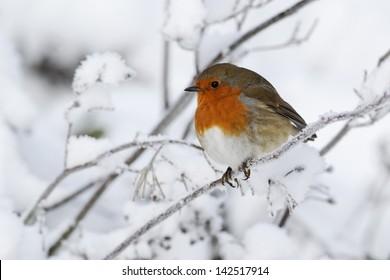 Robin, Erithacus rubecula, single bird in snow, West Midlands, December 2010