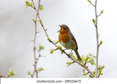 Robin, Erithacus rubecula, Single bird on branch singing, Warwickshire, April 2014