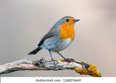 Robin - Erithacus rubecula, standing on a branch