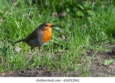A robin (Erithacus rubecula) stood in the grass on the ground along the canal at Bardsley Brew in Tameside, UK