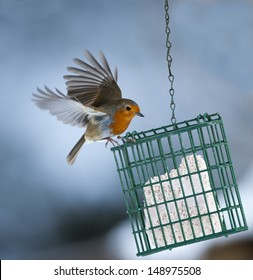 Robin (Erithacus rubella) on a Bird Feeder