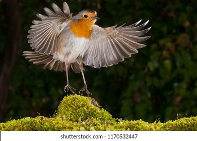 robin (erythacus rubecula), landing, fight
