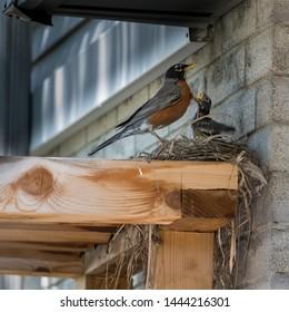 Robin feeding baby bird in nest