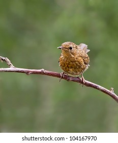 Robin, Fledgling (Erithacus rubecula) sitting on a branch