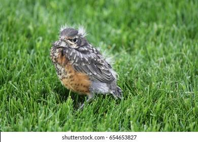 Robin fledgling in grass