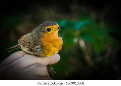 Robin in a hand
