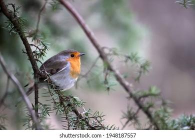 Robin hidden in juniper bush in Dwingelderveld, the Netherlands