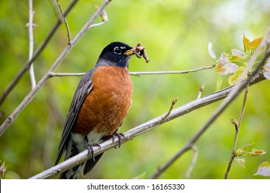 robin holding worm