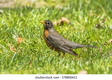 Robin hunting in the grass for a tasty worm.