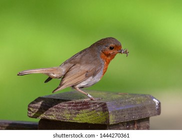 A Robin with insect in its beak.