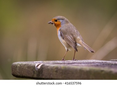 Robin with insect in its mouth against a natural background.