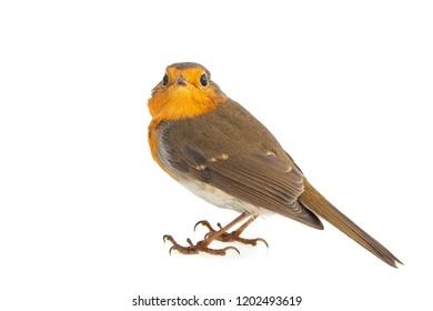 Robin isolated on a white background. European robin (Erithacus rubecula).