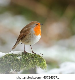 Robin, also known as Redbreast Robin, perched on green moss surrounded by snow in Winter
