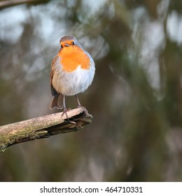 Robin, also known as Robin Redbreast, perched on a dead branch, facing the camera